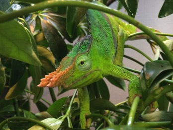 Chameleon facts heres a rarely seen giant fischers chameleon kinyongia matschiei this specimen arrived on an imported shipment but was initially thecheapjerseys Choice Image
